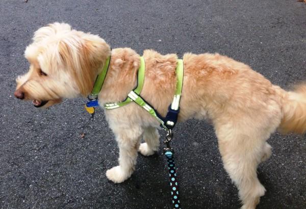 mixed terrier mutt