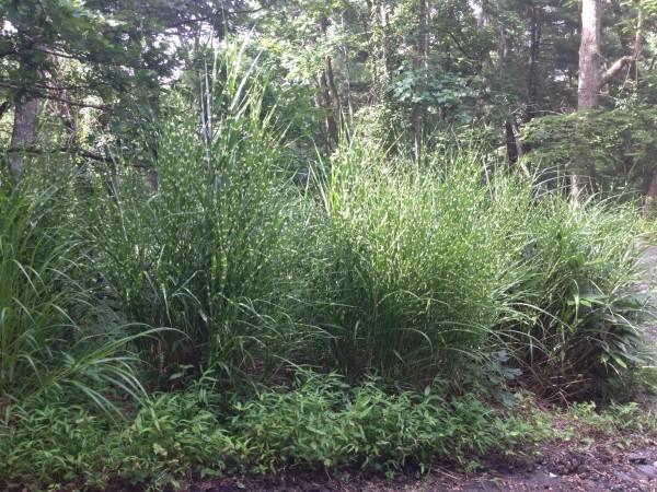 spider grass