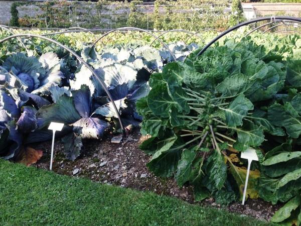 cabbage in the kitchen garden
