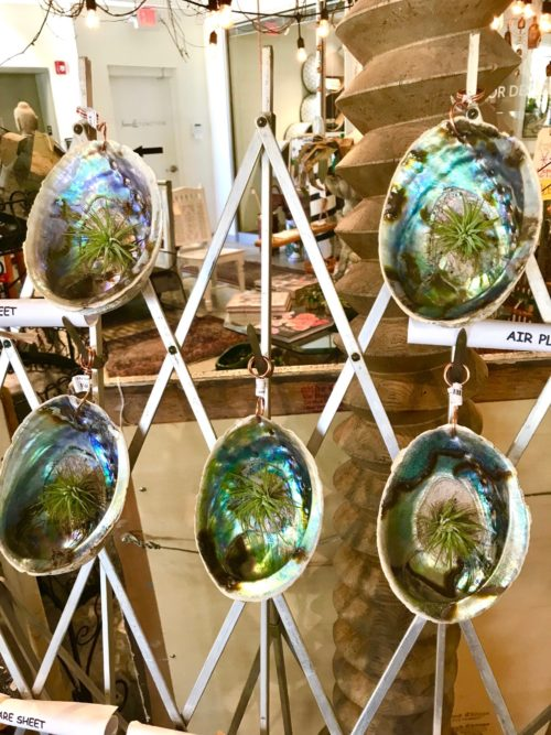 air plants in abalone shells