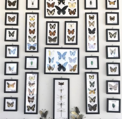 preserved butterflies in frames