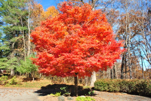 Orange fall japanese maple tree