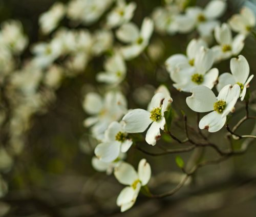 dogwood tree spring tips
