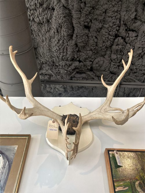Xl Moose Antlers White Painted Plaque